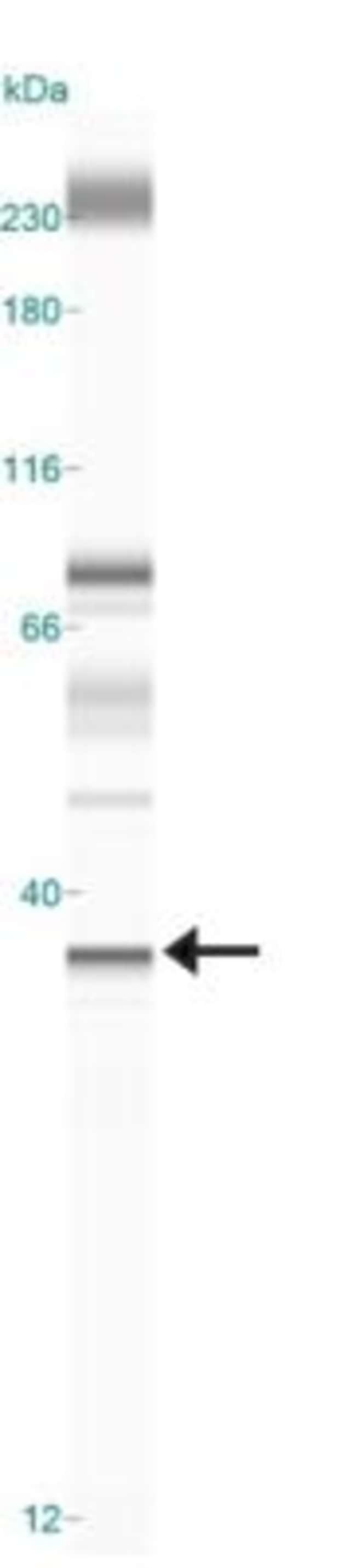 anti-Lyl1, Polyclonal, Novus Biologicals:Antibodies:Primary Antibodies