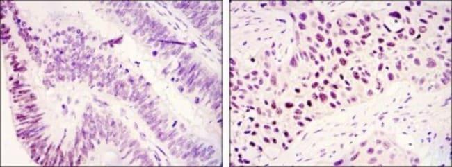 anti-Lysine (K)-specific Demethylase 3A/KDM3A/JMJD1A, Clone: 1E12, Novus