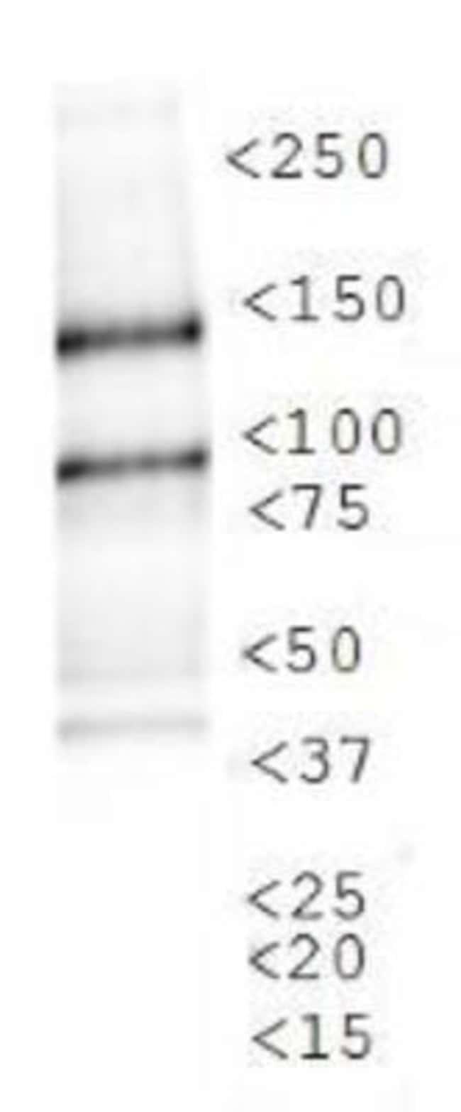 anti-Lysine (K)-specific Demethylase 3A/KDM3A/JMJD1A, Polyclonal, Novus