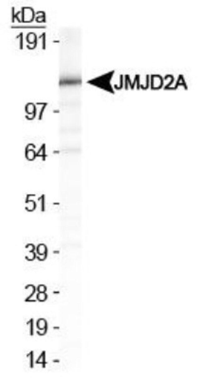 anti-Lysine (K)-specific Demethylase 4A/KDM4A/JMJD2A, Polyclonal, Novus