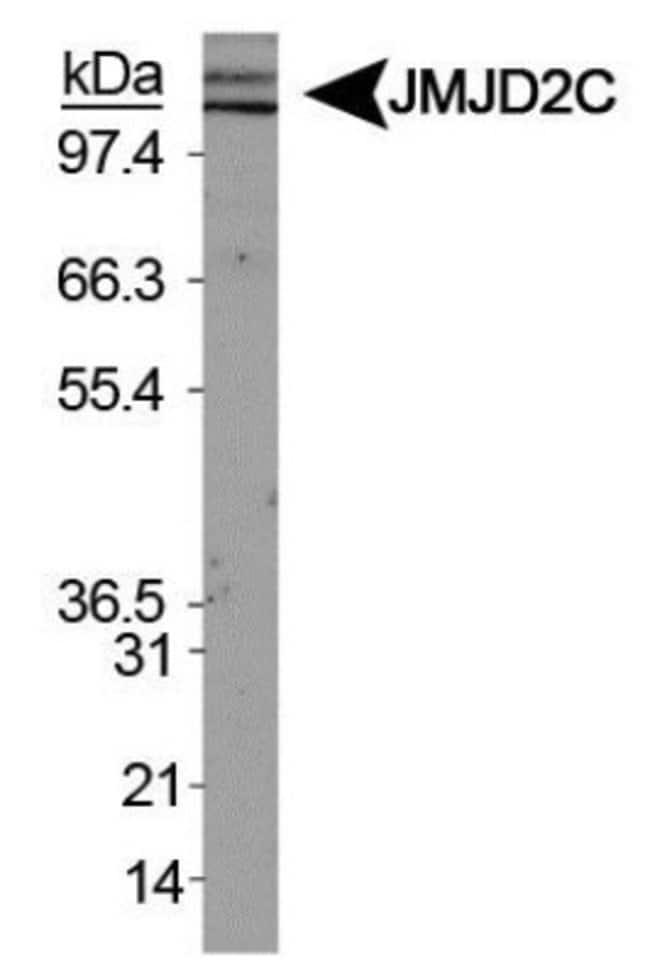 anti-Lysine (K)-specific Demethylase 4C/KDM4C/JMJD2C, Polyclonal, Novus