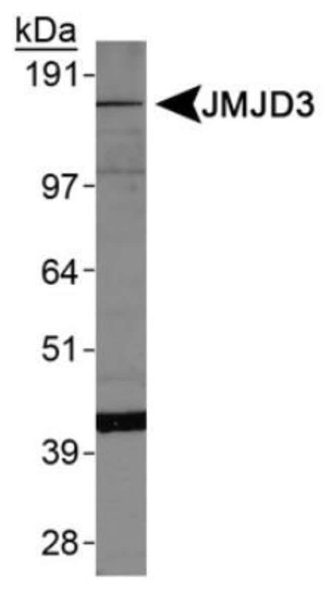 anti-Lysine (K)-specific Demethylase 6B/KDM6B/JMJD3, Polyclonal, Novus