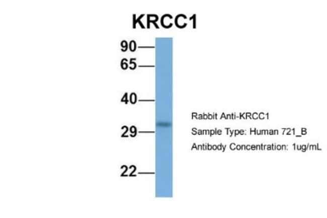 Lysine-rich coiled-coil 1 Rabbit anti-Human, Polyclonal, Novus Biologicals