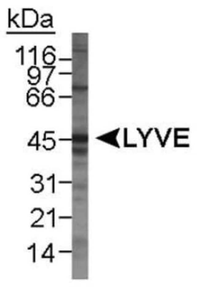 anti-LYVE-1, Polyclonal, Novus Biologicals:Antibodies:Primary Antibodies