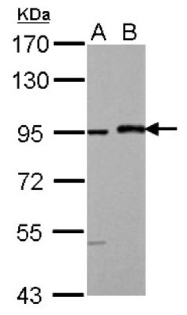 anti-MAML1, Polyclonal, Novus Biologicals 0.1mg; Unlabeled:Life Sciences