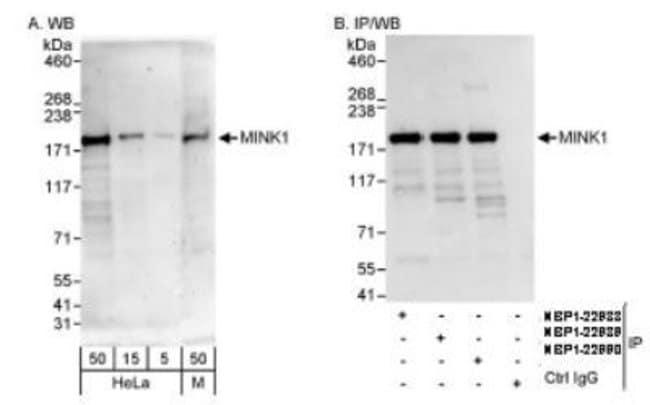 anti-MAP4K6, Polyclonal, Novus Biologicals 0.1mL; Unlabeled:Life Sciences