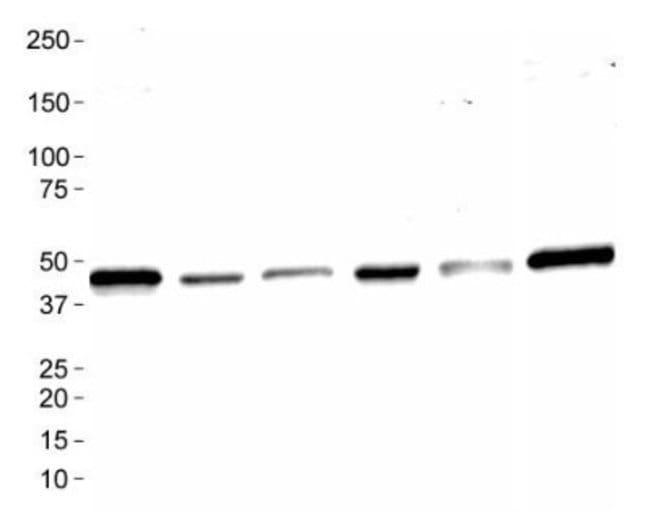 anti-Mas, Polyclonal, Novus Biologicals:Antibodies:Primary Antibodies