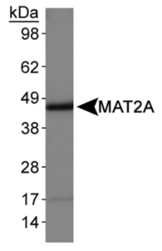 anti-MAT2A, Polyclonal, Novus Biologicals:Antibodies:Primary Antibodies