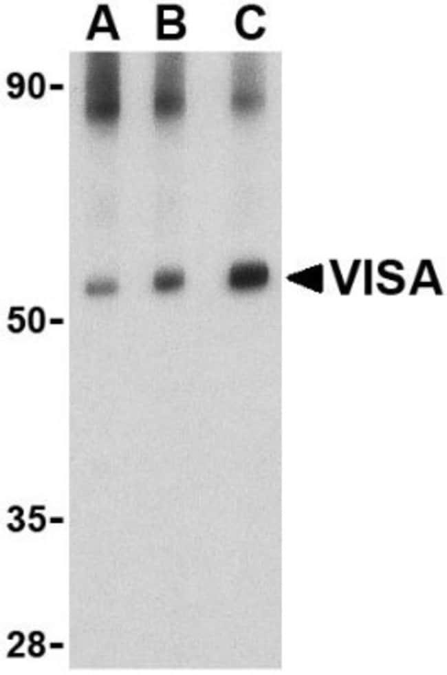 anti-MAVS, Polyclonal, Novus Biologicals 0.1mg; Unlabeled:Life Sciences