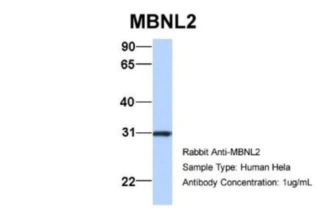 MBNL2 Rabbit anti-Human, Mouse, Rat, Bovine, Canine, Equine, Guinea Pig,
