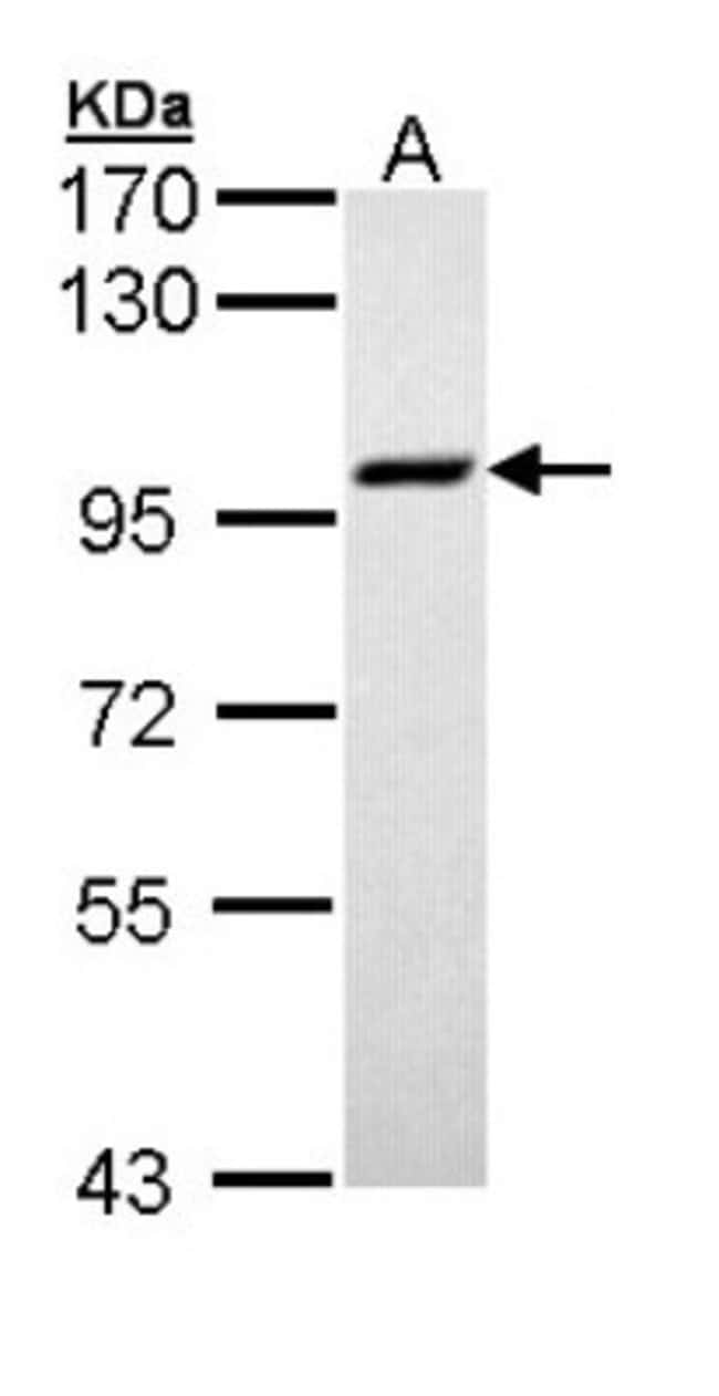 anti-MCM3, Polyclonal, Novus Biologicals 0.1mg; Unlabeled:Life Sciences