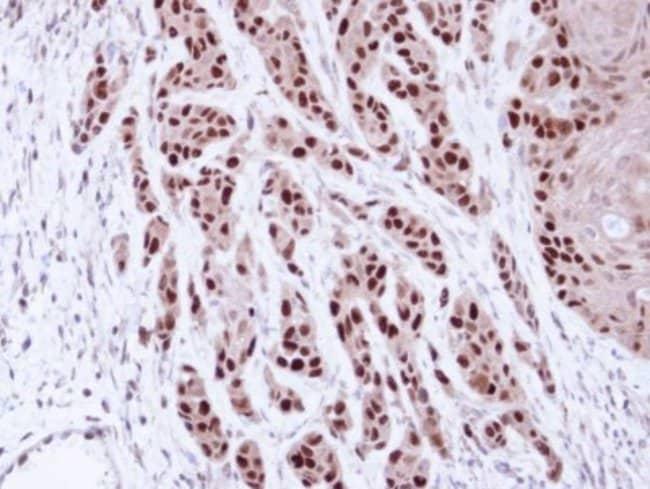 anti-MCM7, Polyclonal, Novus Biologicals 0.1mL; Unlabeled:Life Sciences