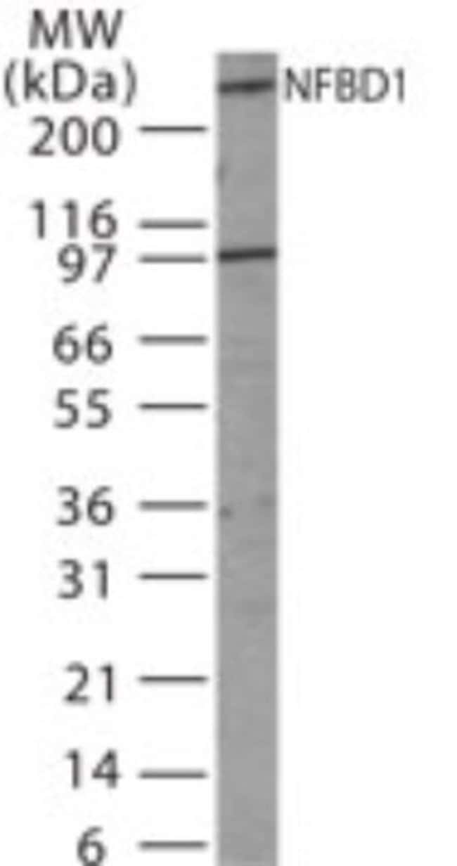 anti-MDC1, Polyclonal, Novus Biologicals:Antibodies:Primary Antibodies
