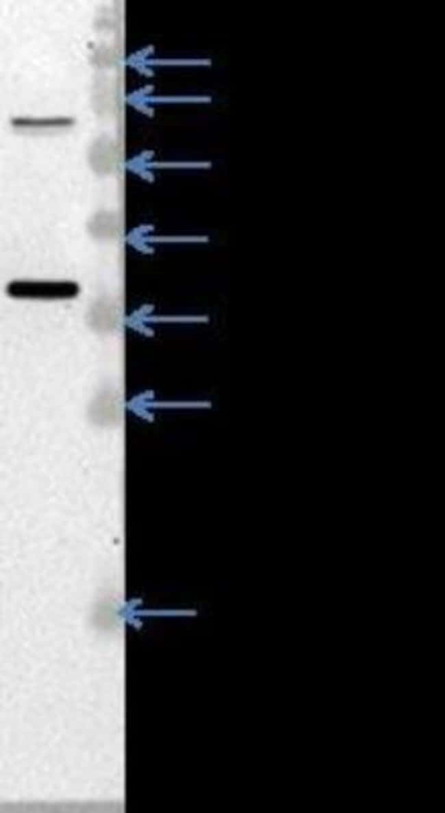 anti-MDH2, Polyclonal, Novus Biologicals 0.1mL; Unlabeled:Antibodies