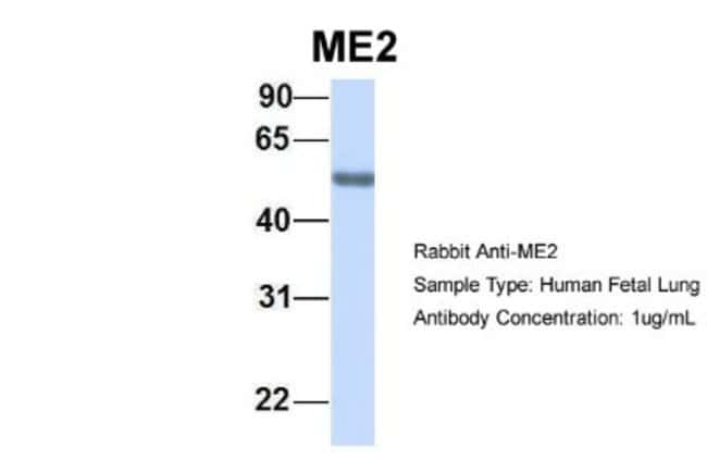 ME2 Rabbit anti-Human, Polyclonal, Novus Biologicals 100µL; Unlabeled:Life