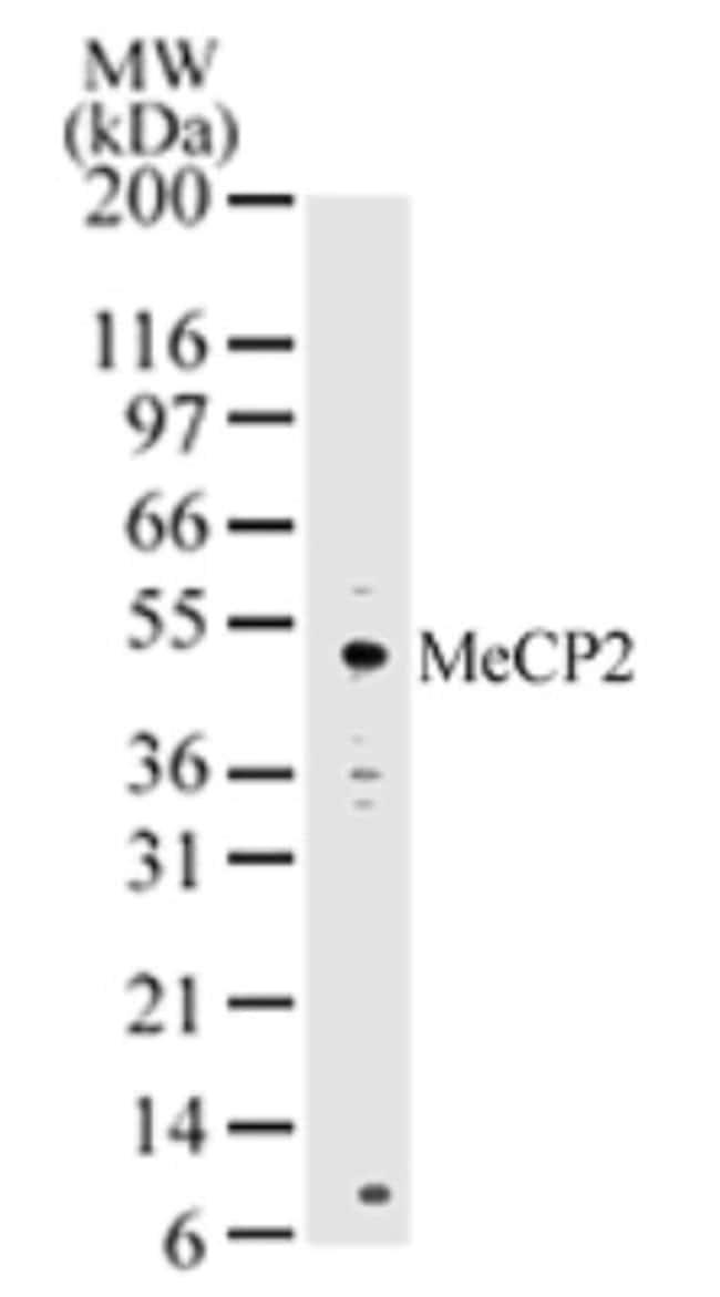 anti-MeCP2, Polyclonal, Novus Biologicals:Antibodies:Primary Antibodies