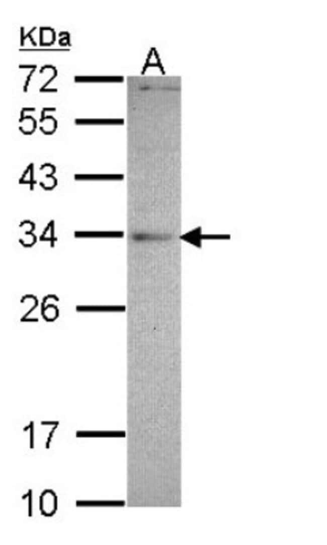 anti-MED4, Polyclonal, Novus Biologicals 0.1mL; Unlabeled:Life Sciences