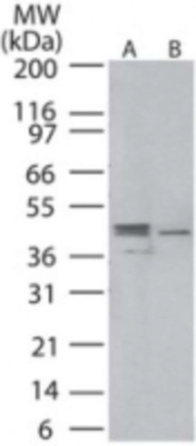 anti-MEK1, Polyclonal, Novus Biologicals:Antibodies:Primary Antibodies
