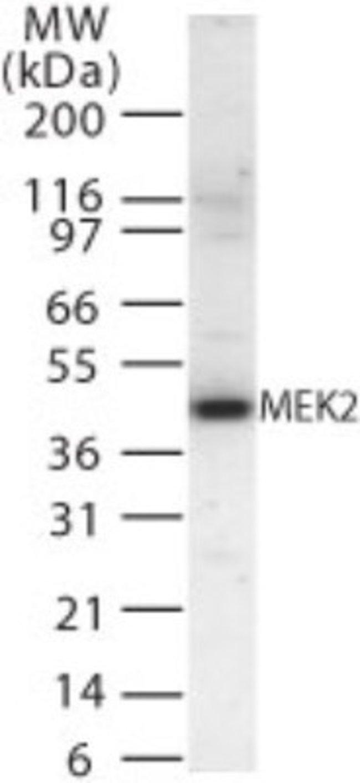 anti-MEK2, Polyclonal, Novus Biologicals:Antibodies:Primary Antibodies