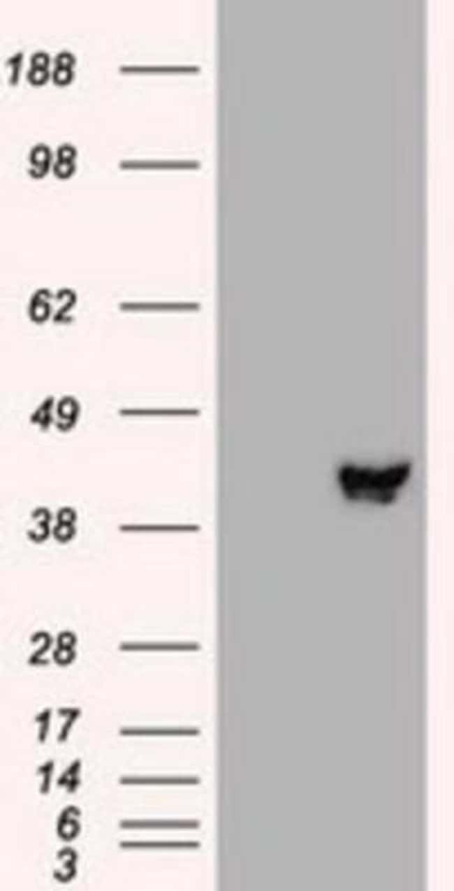 anti-MEK2, Clone: 8G6, Novus Biologicals 0.1mL; Unlabeled:Life Sciences