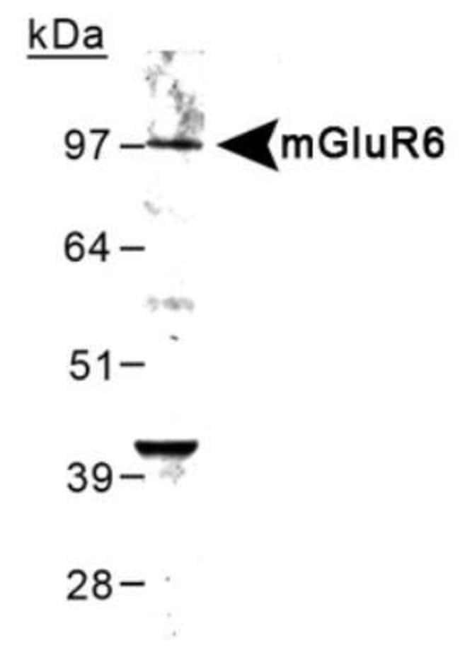 anti-mGluR6, Polyclonal, Novus Biologicals:Antibodies:Primary Antibodies
