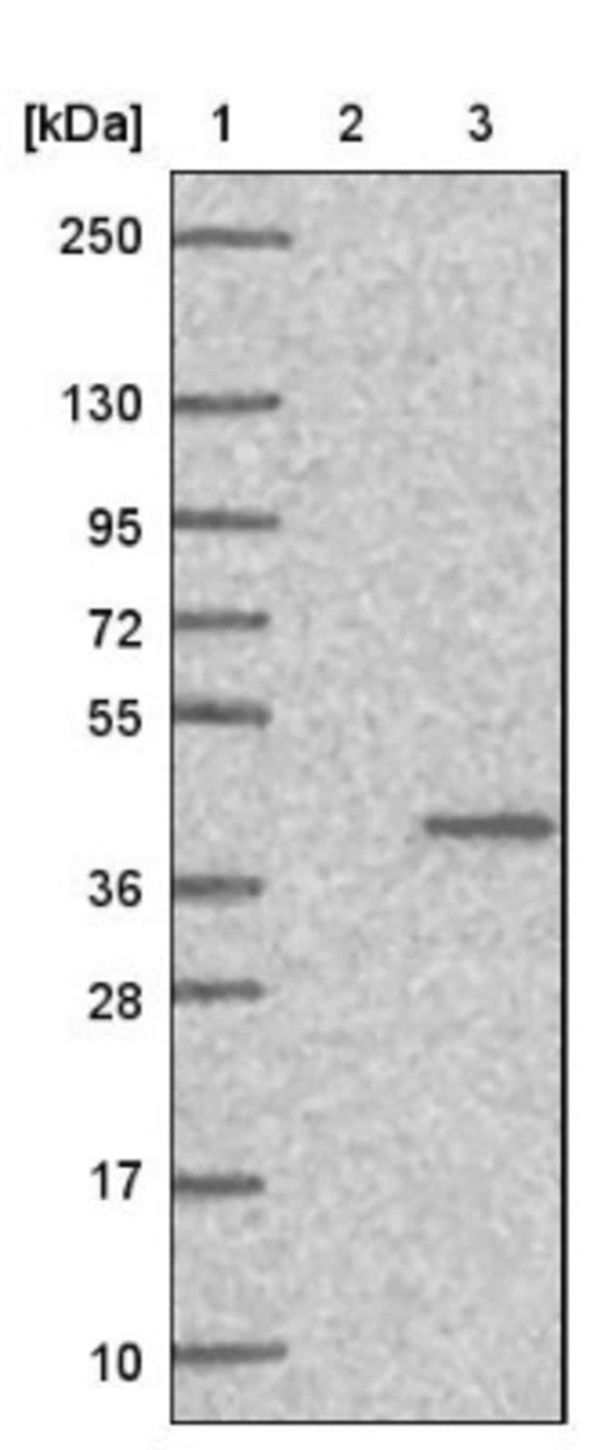 anti-MFSD5, Polyclonal, Novus Biologicals 0.1mL; Unlabeled:Life Sciences
