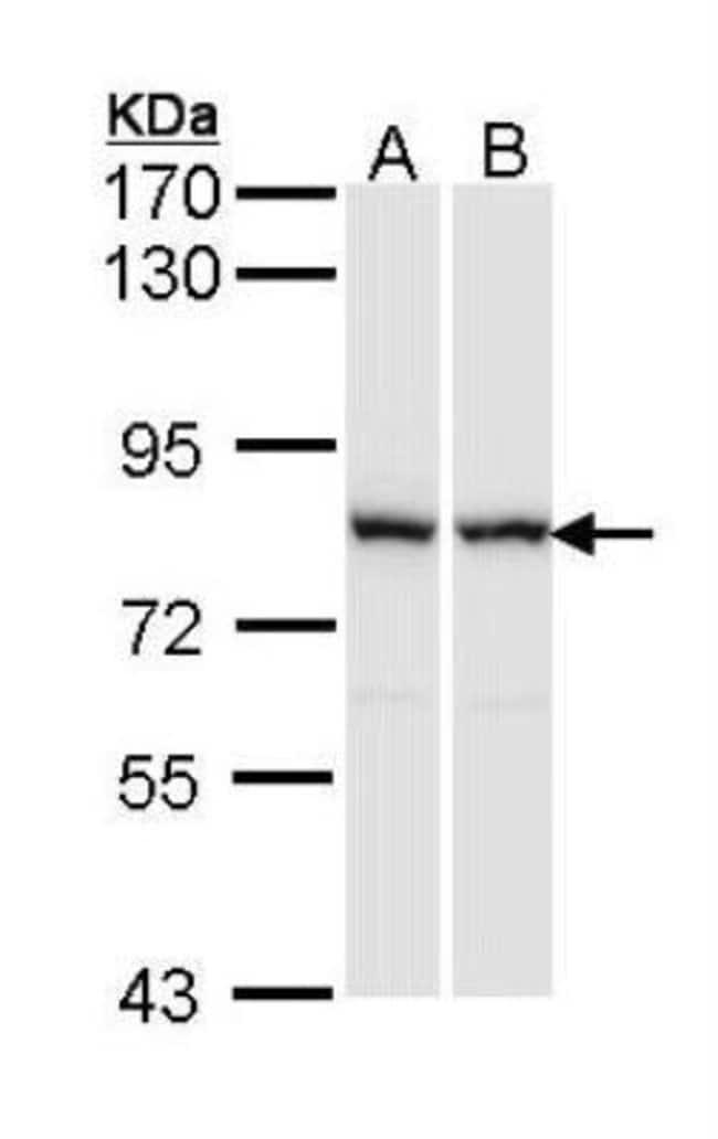 anti-MgcRacGAP/RACGAP1, Polyclonal, Novus Biologicals 0.1mg; Unlabeled:Life