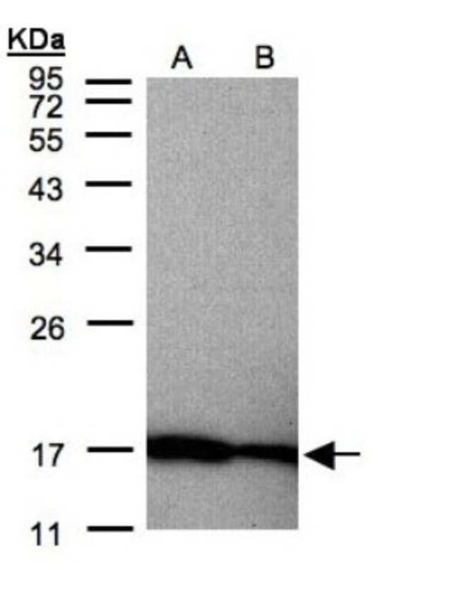 anti-Midkine, Polyclonal, Novus Biologicals 0.1mL; Unlabeled:Antibodies