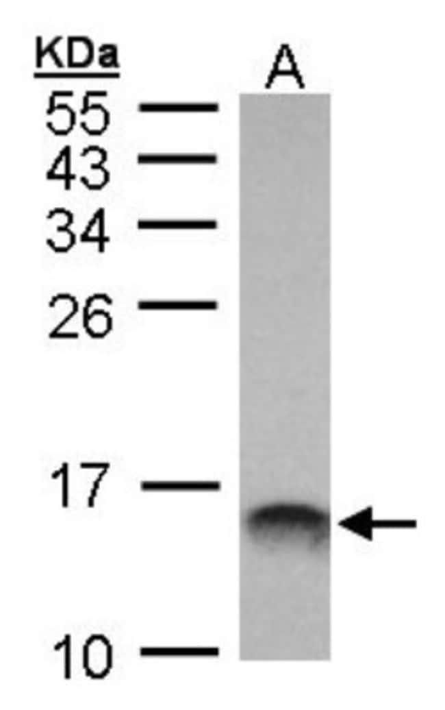 anti-MIF, Polyclonal, Novus Biologicals 0.1mg; Unlabeled:Life Sciences