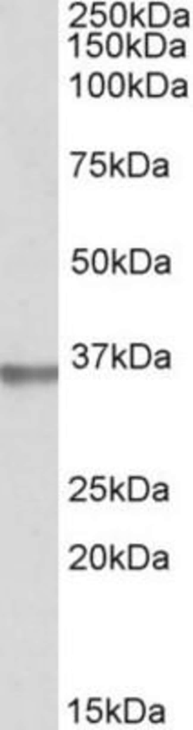 anti-Mindin/Spondin-2, Polyclonal, Novus Biologicals 0.1mg; Unlabeled:Life