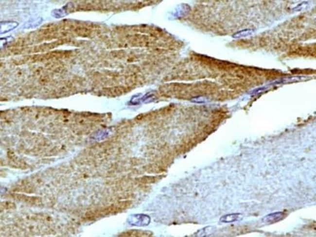 anti-Mitofilin, Polyclonal, Novus Biologicals:Antibodies:Primary Antibodies