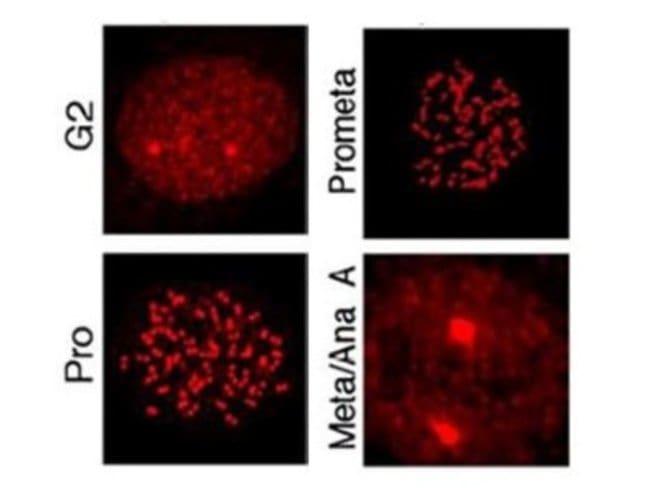 MLF1 Interacting Protein (p Thr78) Rabbit anti-Human, Bovine, Canine, Polyclonal,