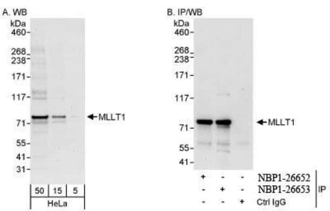 anti-MLLT1, Polyclonal, Novus Biologicals 0.1mL; Unlabeled:Life Sciences