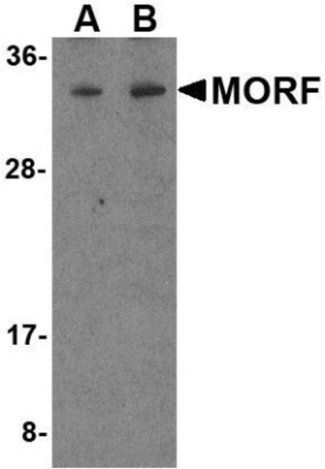 anti-MORF4, Polyclonal, Novus Biologicals 0.1mg; Unlabeled:Life Sciences