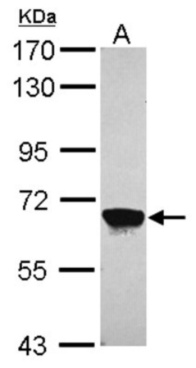 anti-MPP2, Polyclonal, Novus Biologicals 0.1mL; Unlabeled:Antibodies