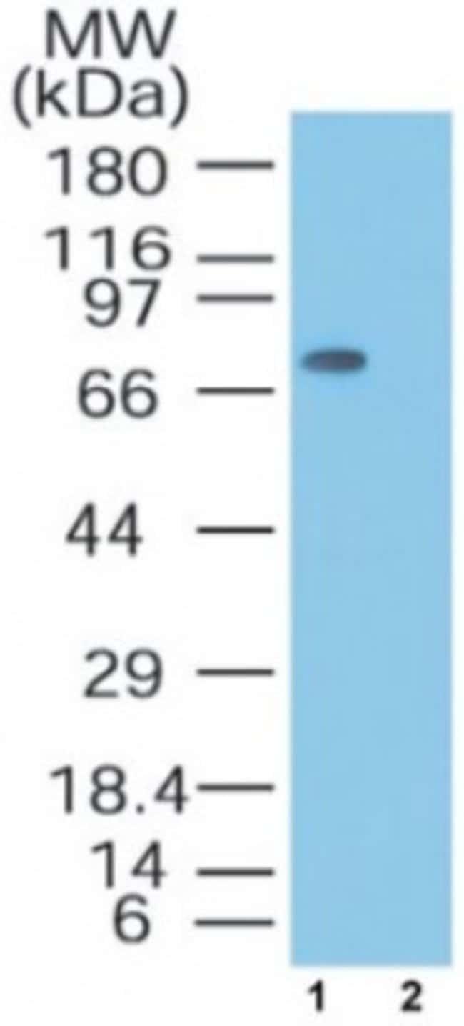 anti-MTA2, Polyclonal, Novus Biologicals:Antibodies:Primary Antibodies