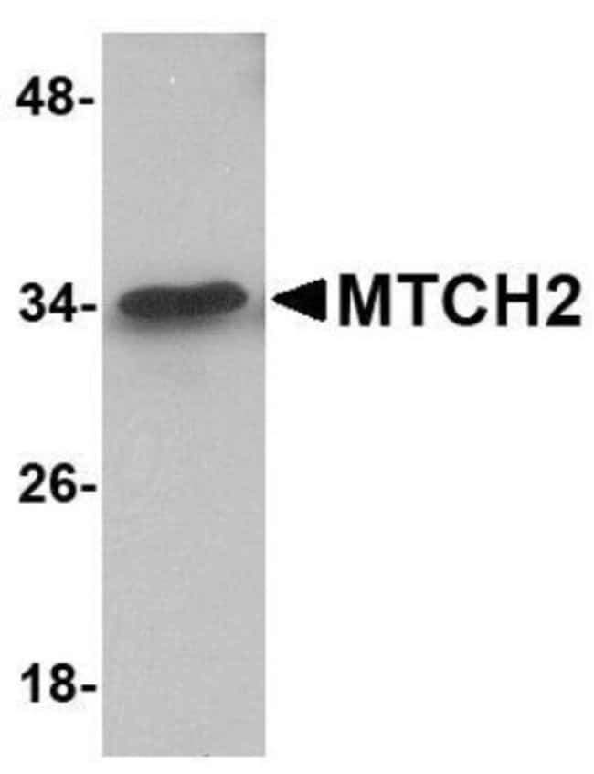 anti-MTCH2, Polyclonal, Novus Biologicals 0.1mg; Unlabeled:Life Sciences