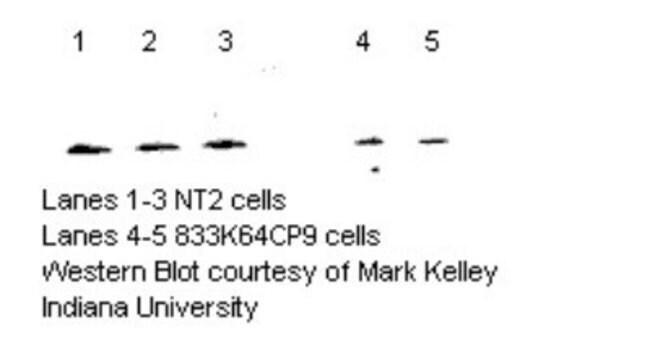 anti-MTH1, Polyclonal, Novus Biologicals:Antibodies:Primary Antibodies