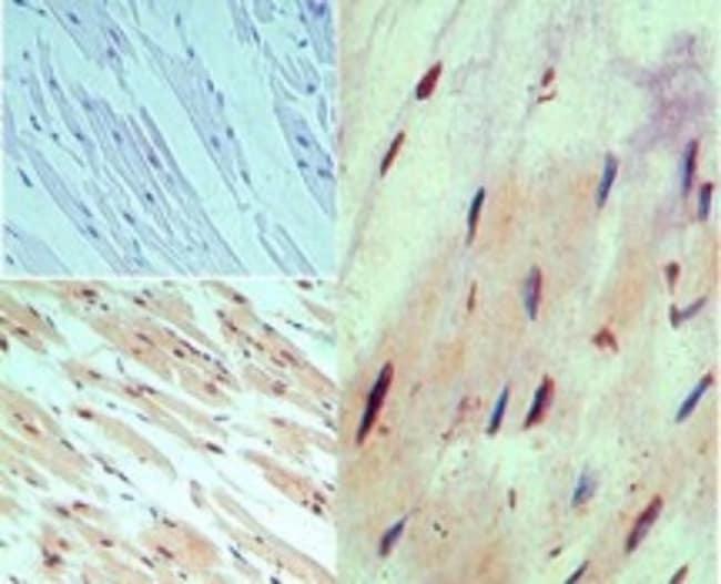 anti-MUC13, Polyclonal, Novus Biologicals:Antibodies:Primary Antibodies