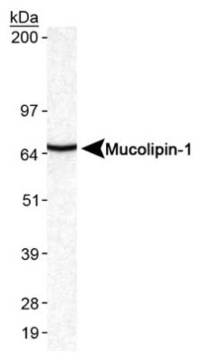 anti-Mucolipin 1, Polyclonal, Novus Biologicals:Antibodies:Primary Antibodies