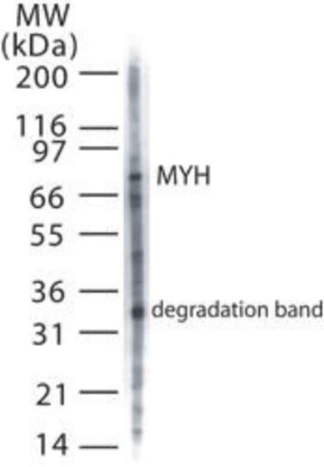 anti-MYH, Polyclonal, Novus Biologicals:Antibodies:Primary Antibodies