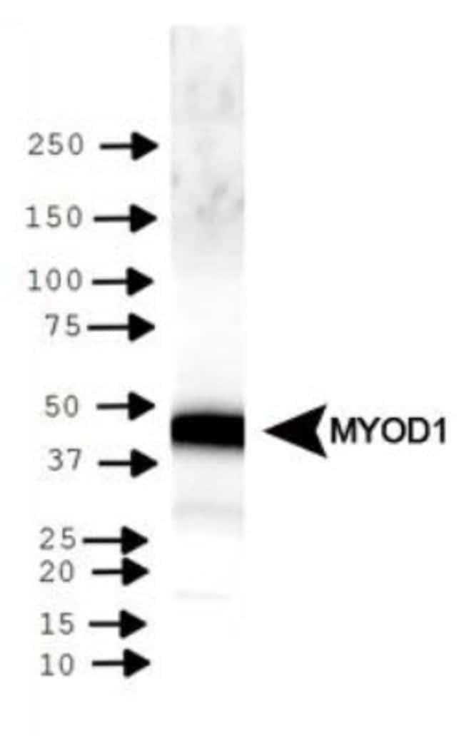 anti-MyoD, Polyclonal, Novus Biologicals 0.025mL; Unlabeled:Life Sciences