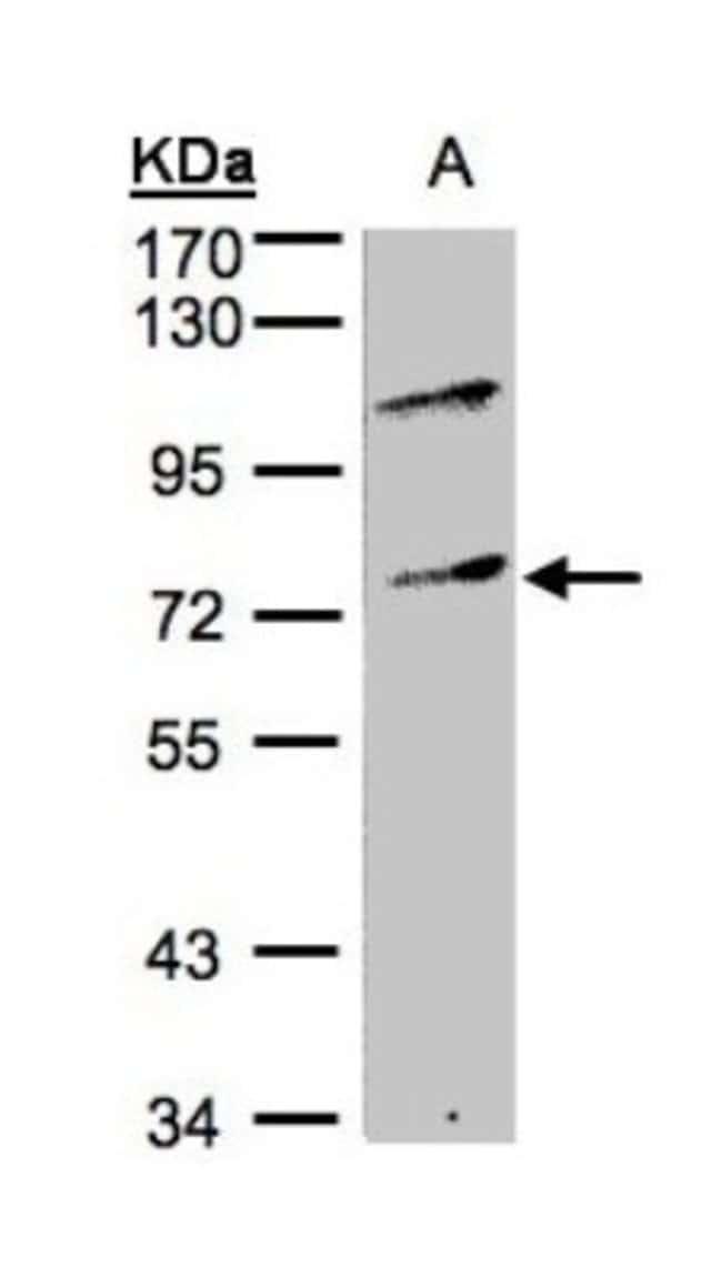 anti-MZF1, Polyclonal, Novus Biologicals 0.1mg; Unlabeled:Life Sciences