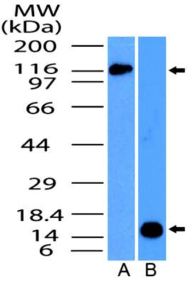 anti-NALP4, Polyclonal, Novus Biologicals:Antibodies:Primary Antibodies