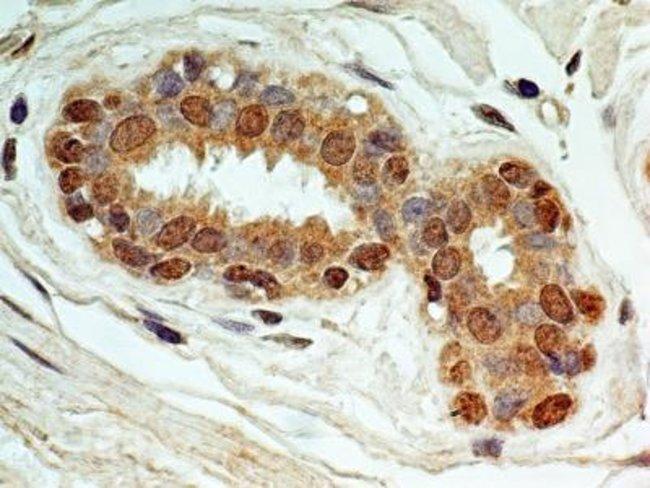 anti-NALP6, Polyclonal, Novus Biologicals:Antibodies:Primary Antibodies