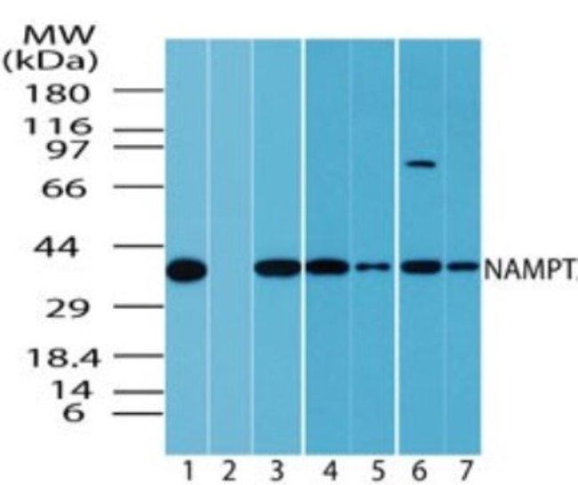 PBEF/Visfatin/NAMPT Rabbit anti-Human, Rat, Polyclonal, Novus Biologicals:Antibodies:Primary