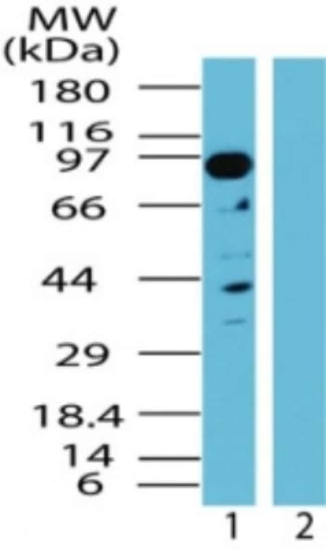 anti-NAP1, Polyclonal, Novus Biologicals:Antibodies:Primary Antibodies