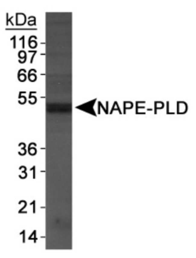anti-NAPE-PLD, Polyclonal, Novus Biologicals:Antibodies:Primary Antibodies
