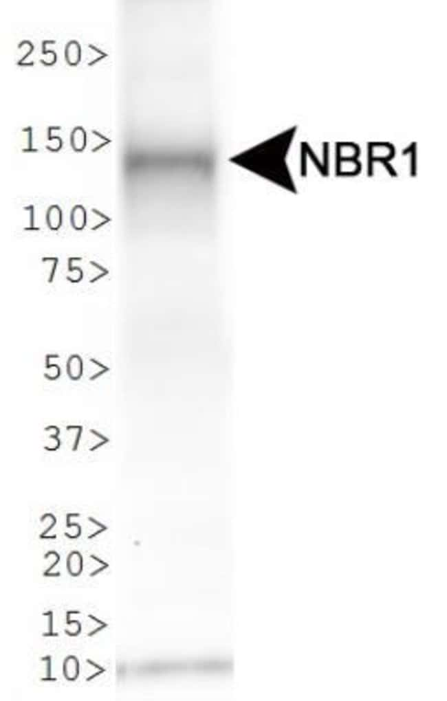anti-NBR1, Polyclonal, Novus Biologicals:Antibodies:Primary Antibodies