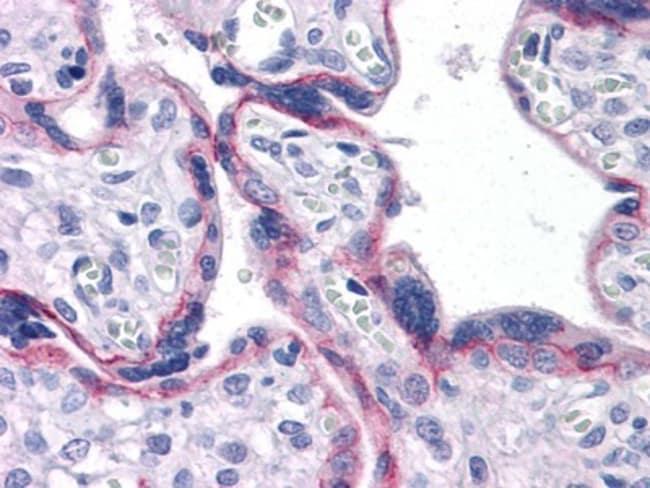 anti-N-Cadherin, Clone: 5D5, Novus Biologicals 0.1mL; Unlabeled:Life Sciences